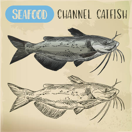 Channel catfish sketch. Seafood and fish Illustration