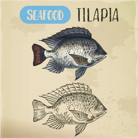 Tilapia or cichlid fish sketch for restaurant menu