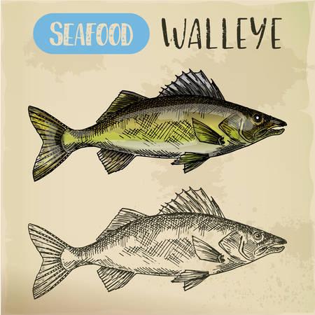 Schizzo di lucioperca o pesce perciforme, pickerel