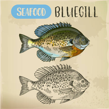 Bluegill sketch or hand drawn seafood  イラスト・ベクター素材