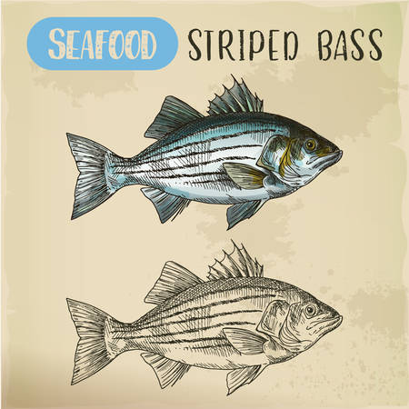 Sketch of striper fish or atlantic striped bass Ilustração