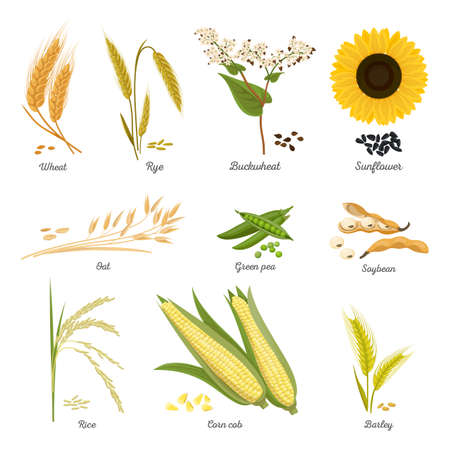 Stems of wheat and rye, sunflower and pea food Stok Fotoğraf