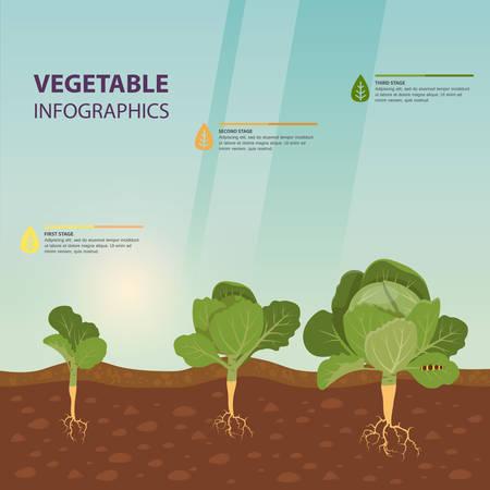 Kopfkohl-Anbauprozess als Infografik-Vorlage, Gemüsestadien als Hintergrund für die Landwirtschaft oder Ernteplakat oder -zeichen, gekeimte Cole-Kulturen. Botanik-Informationen für Schulbuch, Bauernhof-Thema