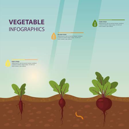 ビートの成長段階を持つインフォグラフィックまたはベータ下地の成長プロセスとインフォチャート, 根を持つ野菜と葉葉を情報ポスターとして.植物学と農業、農場のテーマ