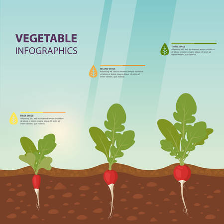 Edible root vegetable infographics or european germinated radish growth process information, background template for plant growing stages. Agriculture and harvest, botany and flora, infochart theme Foto de archivo - 112266280