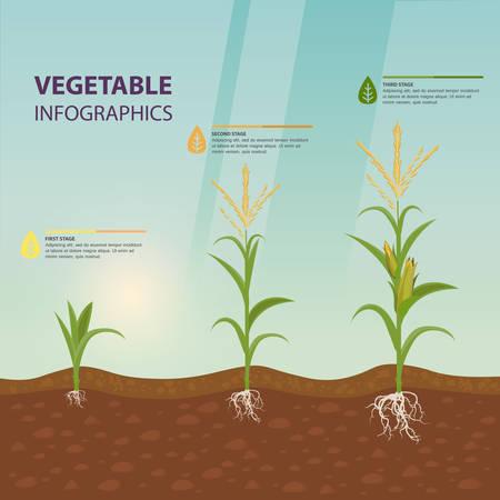 Étapes de croissance du maïs comme affiche infographique. Racines de maïs dans le sol, inflorescence avec pompon. Culture de plantes biologiques. Nutrition végétarienne ou nourriture végétalienne, ferme et récolte, thème de l'agriculture