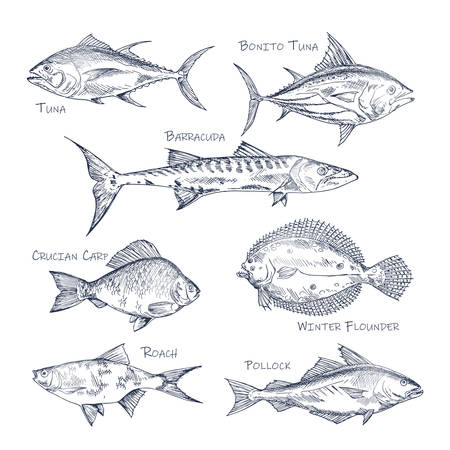 Set of isolated fish sketch for shop or store, menu. Bonito tuna and barracuda, crucian carp and winter flounder, common roach and pollock. Seafood and nautical, sea and ocean, underwater theme