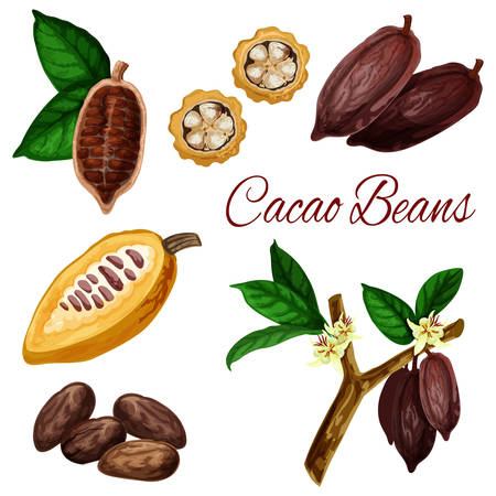 Cocoa beans, vector botanical illustration, chocolate ingredient cacao pod fruits. Natural cocoa beans with leaf in slice cut for chocolate or dessert package design