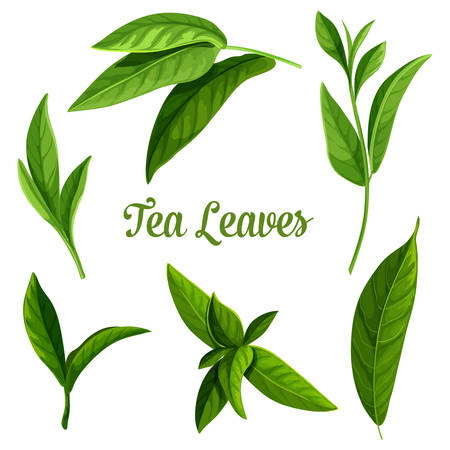 Tea leaves vector botanical illustration, green and black teak tea and teabags package design elements. Indian Ceylon or Chinese green tea leaf with stems, isolated on white background