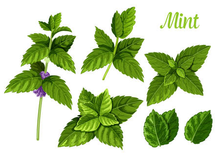Set of isolated mint leaves or peppermint leaf, green spearmint foliage or menthol herb, plant sprig or flora twig. Lemon balm or lime, melissa. Medicine and aroma, herbal and nature, spice theme