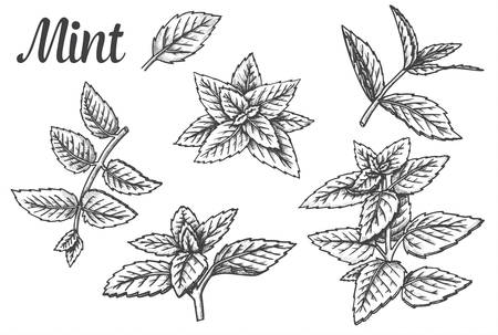 Sketches of peppermint leaves or mint leaf, spearmint foliage or fresh melissa, lemon twig. Set of isolated hand drawn herbs or plants. Fresh menthol and spice, aroma and scent, nature and organic