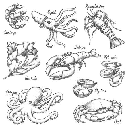 Set of isolated underwater seafood sketches. Vintage illustration of crab and shrimp, spiny lobster and sea kale, octopus and oyster. Hand drawn ocean animal, mollusk. Restaurant menu, cooking
