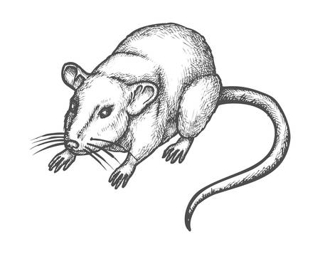 Mouse or rat sketch, vector hand drawn illustration of rodent animal. House mouse or wild rat realistic pencil sketch drawing, domestic pet or deratization and extermination icon