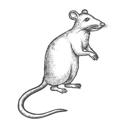Mouse or rat vector sketch, hand drawn illustration of rodent animal. House mouse or wild rat standing on rear paws, realistic or cartoon pencil sketch drawing