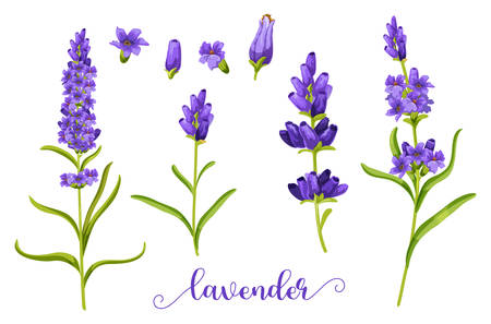 Lavender flower in realistic watercolor. Herb bunch of lavandula for bouquet element. Twig and stem of blossom plant. Foliage of spring and summer flower. Decoration and fragrance. Flora and nature