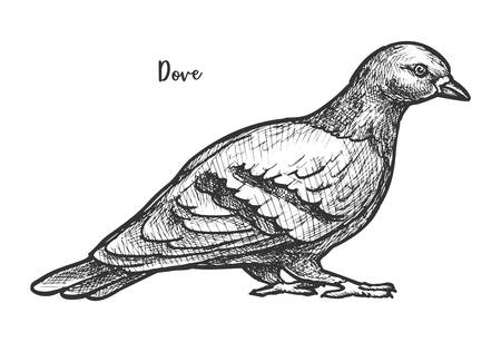 Sketch of feral pigeon or domestic dove