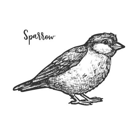 Vintage sketch of true or american sparrow