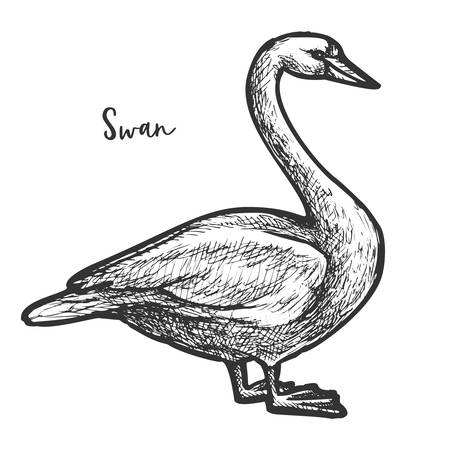Sketch of white mute swan, wildlife cygnus