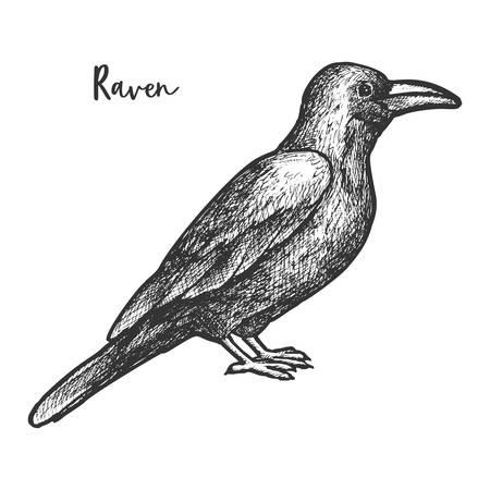 Vector sketch of raven or black crow, bird