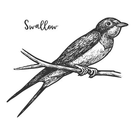 Sketch of swallow bird or martins, martlet