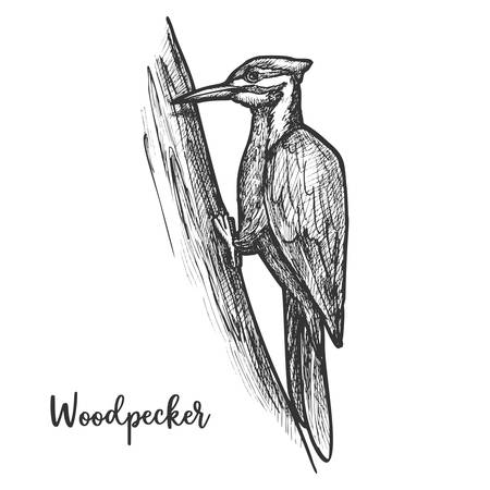 Sketch of woodpecker bird on tree, pecker animal