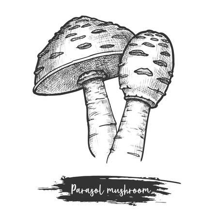 Sketch of parasol mushroom. Fungus for cooking. Hand drawn autumn fungi. Wood or forest vegetarian food. Edible organic meal sketching. Vector illustration for botany or cook, culinary or recipe theme