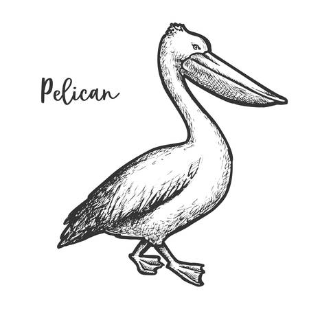 Pelican etching vector illustration. Sketch of bird
