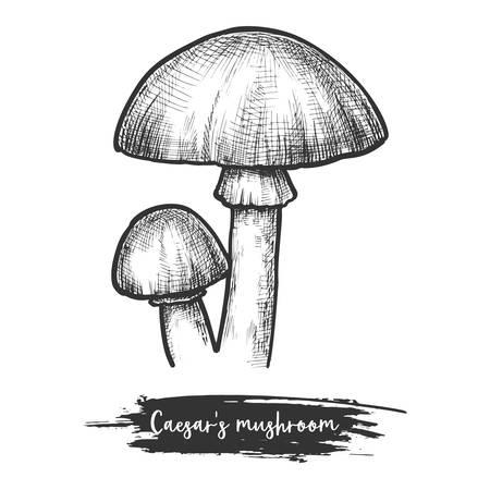 Caesars mushroom sketch. Europe shroom, vector illustration Ilustrace