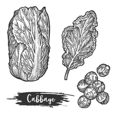 Napa cabbage or sketch of chinese cauliflower Vektoros illusztráció