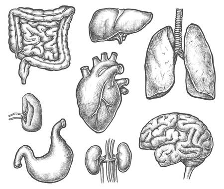 Set of isolated internal human organ sketch. Digestive system stomach and kidney, liver and spleen, brain and heart, trachea. Hand drawn anatomy or medicine cartoon organs. Surgery and cardiology