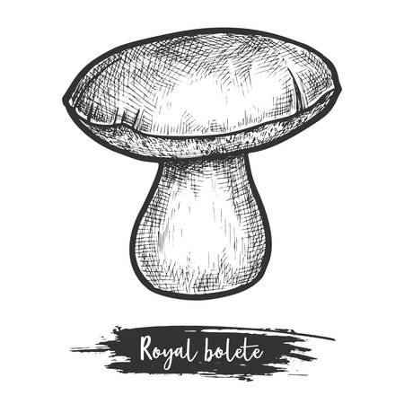 Royal bolete sketch or red-capped butter mushroom sketching. Hand drawn red-capped fungus. Vegetarian food ingredient. Eatable fungi or forest, wood plant. Botany and biology, cook and recipe theme