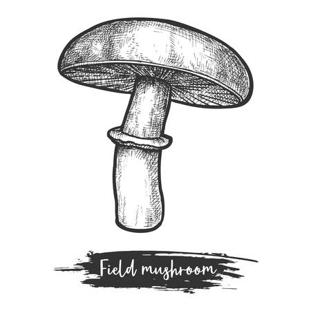 Meadow or field mushroom vintage illustration. Gilled shroom sketch. Forest or wood fungus or autumn fungi. Vegan food ingredient. Edible or eatable plant. Eating and cuisine, meal and botany theme