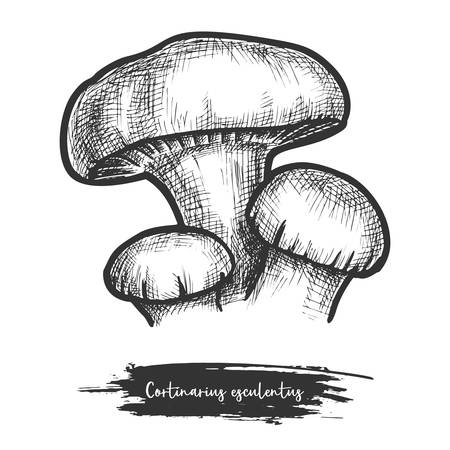Vector sketch of forest mushroom. Hand drawn cortinarius esculentus. Cortinar or webcap shroom. Autumn or wood fungus for food. Cut fungi with cap. Vegetarian or vegan nutrition. Cook theme