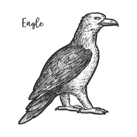 Eagle sketch or hand drawn bird. Vector illustration of falcon or hawk. Bald animal with wings and beak, feather. Engraved natural predator emblem. American independence and freedom theme. Wildlife