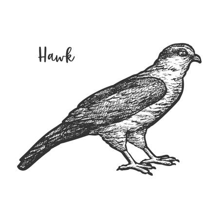 Hawk bird sketch or hand drawn falcon. Eagle drawing for tattoo or american mascot, america wildlife. Nature animal with beak and wings. Biology book illustration design. Sketching or engraving