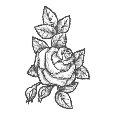 Hand drawn buds and flower of rose. Engraved plant with leaves. Sketching of natural romantic decoration. Gift for valentine day celebration. Romantic tattoo. Flora, biology, nature and botany sketch