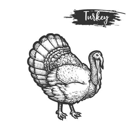 Turkey bird sketch or hand drawn gobbler