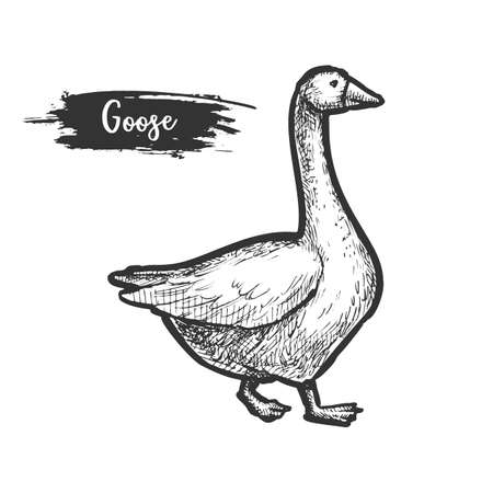 Sketch of goose bird. Profile of farm geese Illustration