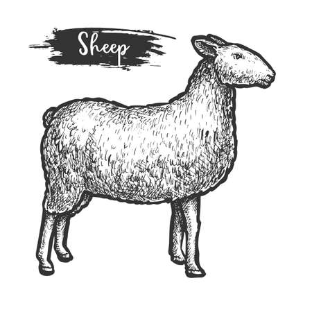 Sketch or woodcut of sheep animal. Isolated lamb Illustration