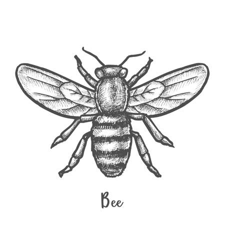 Sketch of bee or hand drawn wasp. Insect, honeybee Illustration