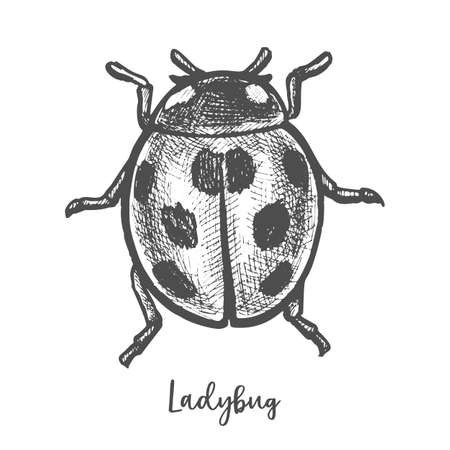 Sketch of ladybug insect. Hand drawn ladybird