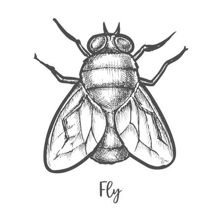 Fly insect sketch or bottle housefly drawing