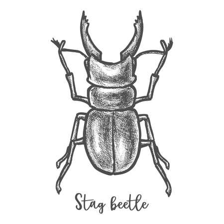 Stag beetle sketch or cervus lucanus illustration