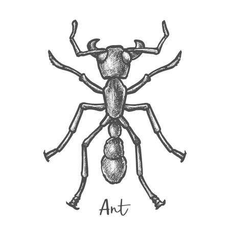 Sketch of ant or hand drawn insect, bug closeup 向量圖像
