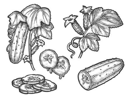 Cucumber hand drawn vector sketch illustration design