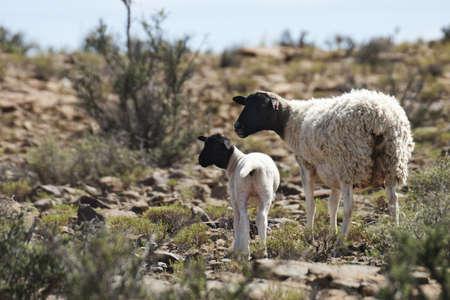 ewe: Dorper Ewe and Lamb