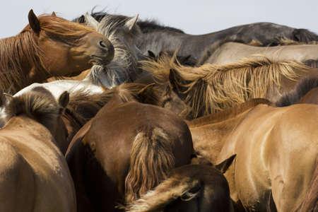 mongolia horse: Herd of Horses