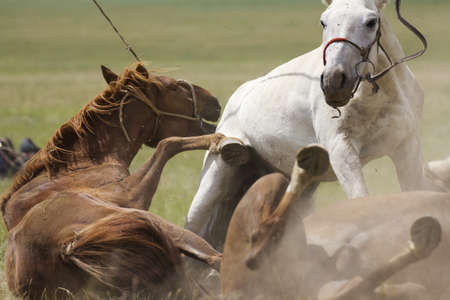 reigns: Rolling Horses Stock Photo