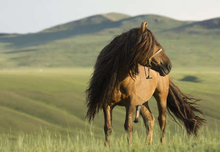 Mongolian Stallion photo