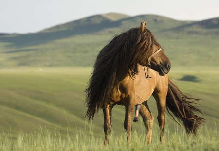 mongolian: Mongolian Stallion